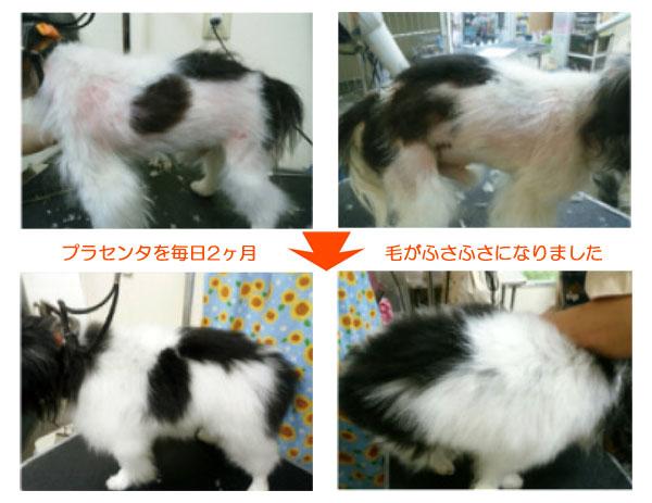 犬猫ペットの国産SPF豚プラセンタエキス末-9