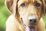 がんになりやすい犬種がある