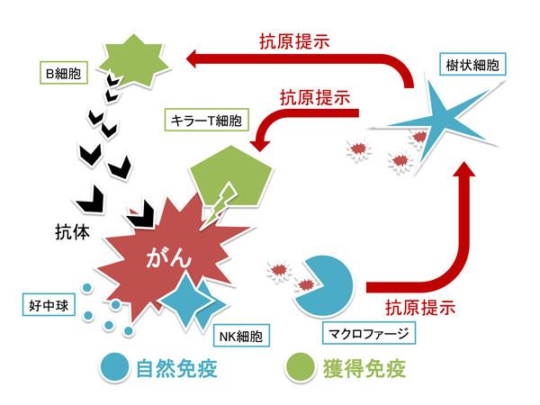 自然免疫と獲得免疫の活性化