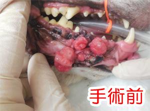 犬の口腔内メラノーマ